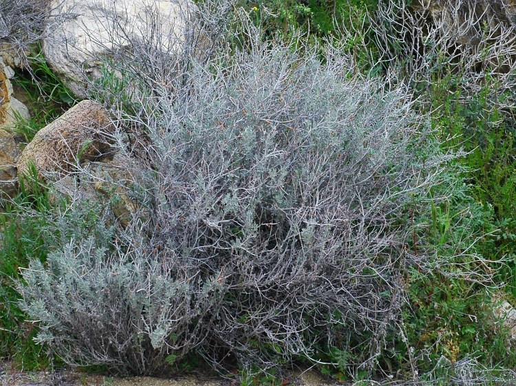Eriogonum wrightii var. nodosum