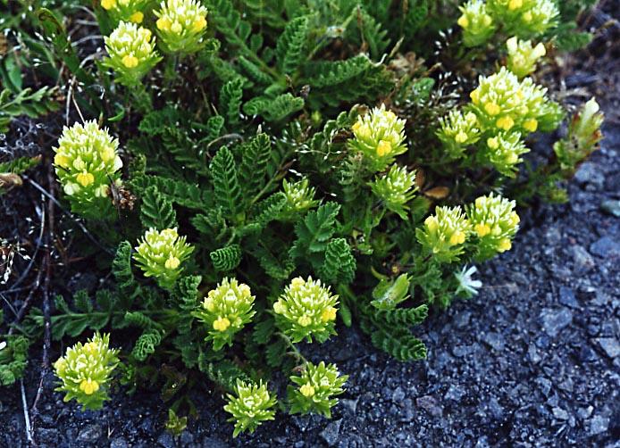 Castilleja ambigua ssp. ambigua