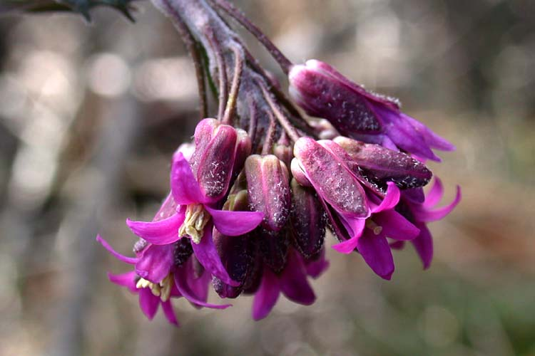Boechera subpinnatifida