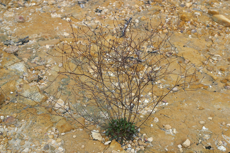 Eriogonum apricum