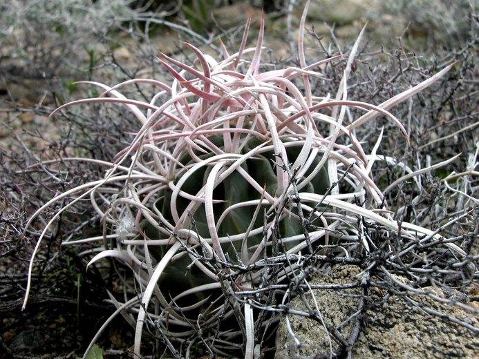Echinocactus polycephalus var. polycephalus