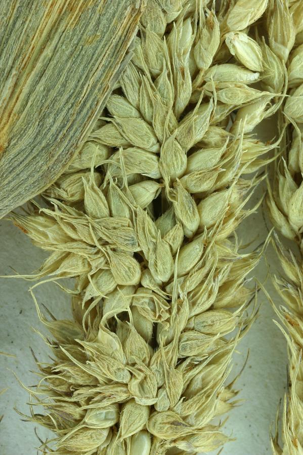 Echinochloa crus-pavonis