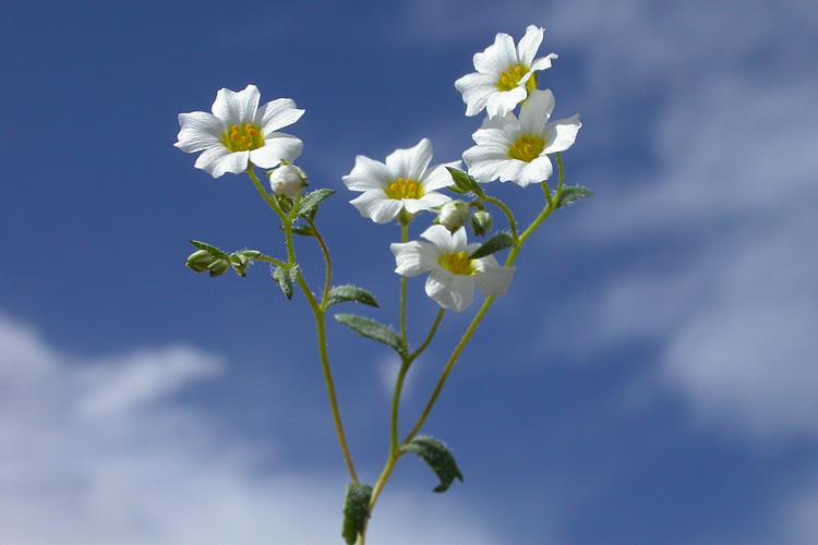 Gilia inyoensis