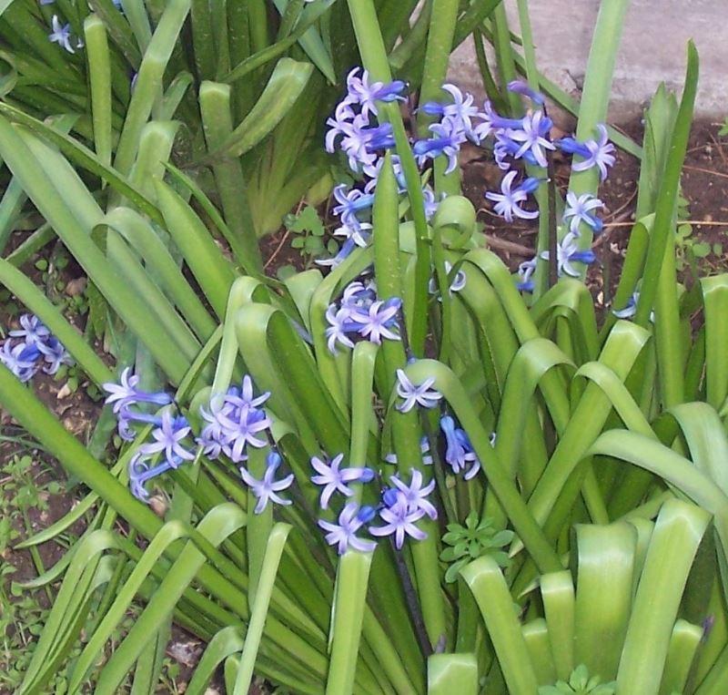 Hyacinthus image