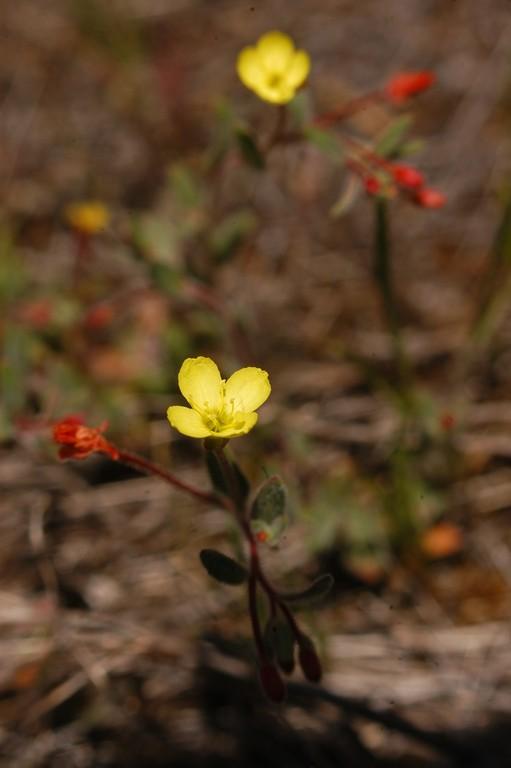 Camissonia sierrae ssp. alticola