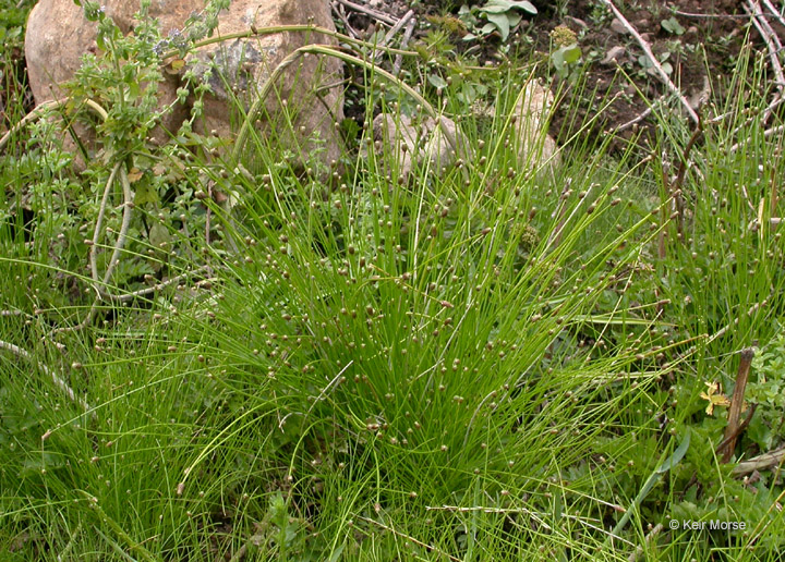 Eleocharis obtusa var. obtusa