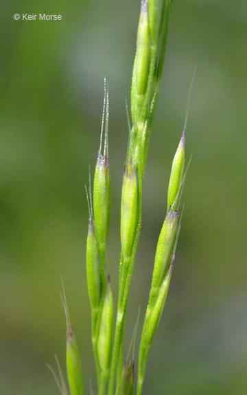 Deschampsia elongata