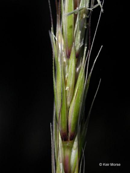 Elymus glaucus ssp. glaucus
