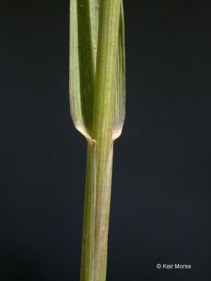Elymus repens