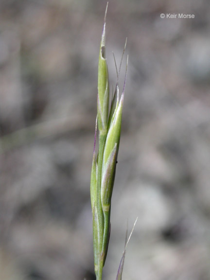 Festuca idahoensis