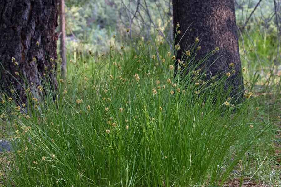 Carex hoodii
