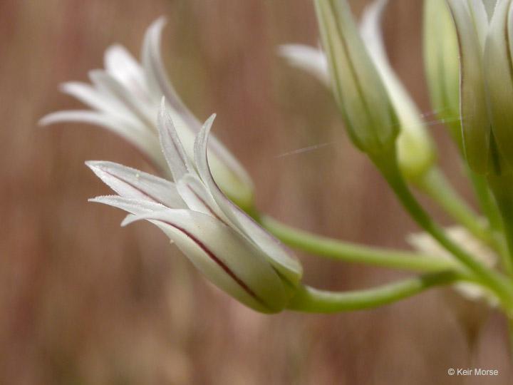 Allium bolanderi var. mirabile