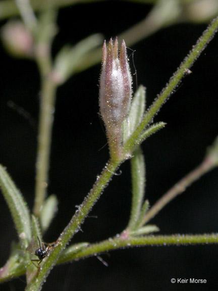 Gilia sinistra ssp. sinistra