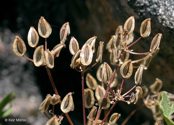 Lomatium hallii