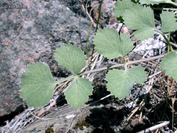 Lomatium howellii