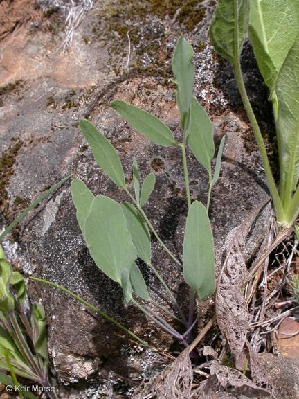 Lomatium nudicaule