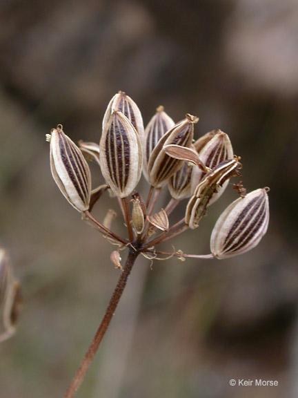Lomatium triternatum var. triternatum