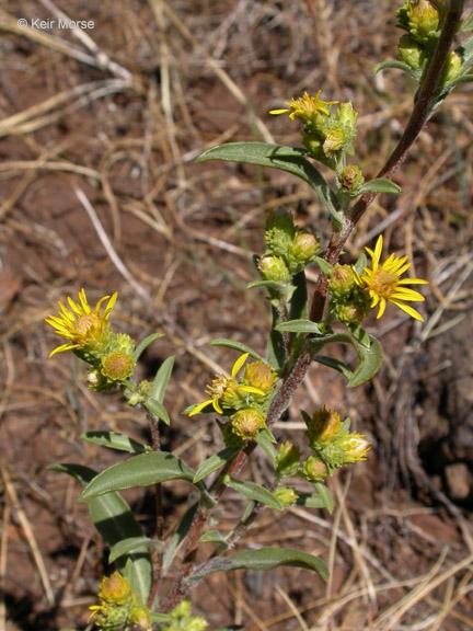 Pyrrocoma racemosa var. congesta