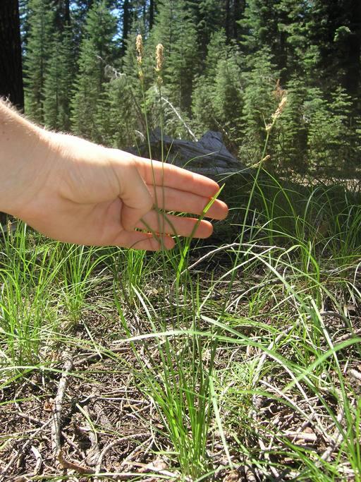Carex inops ssp. inops