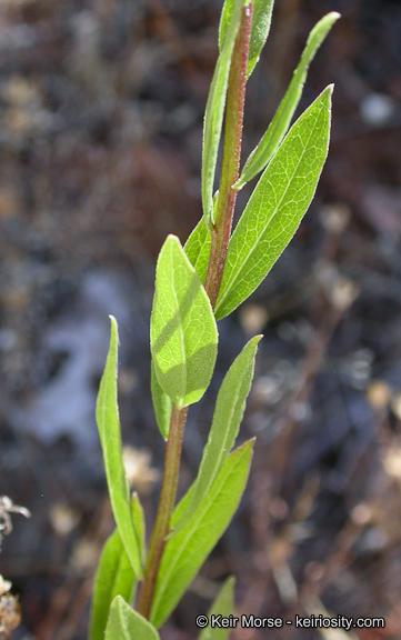 Sericocarpus oregonensis