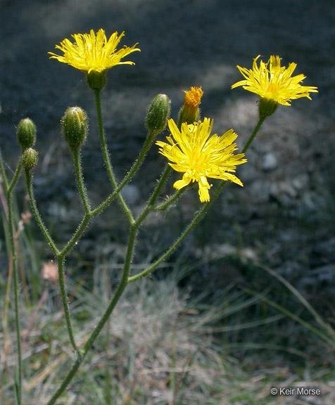 Hieracium parryi