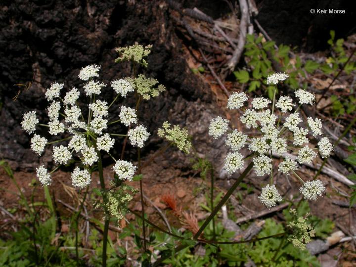 Ligusticum apiifolium