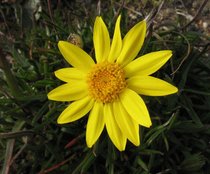 Lasthenia macrantha