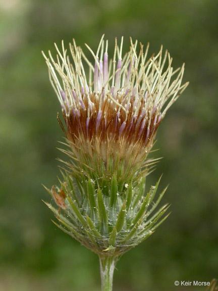 Cirsium remotifolium var. remotifolium