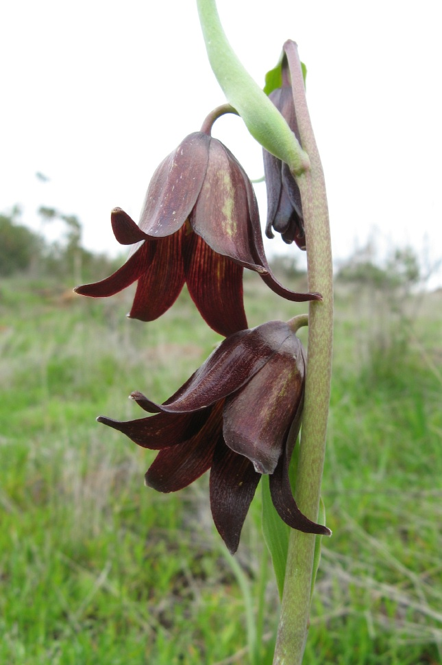 Fritillaria biflora var. biflora