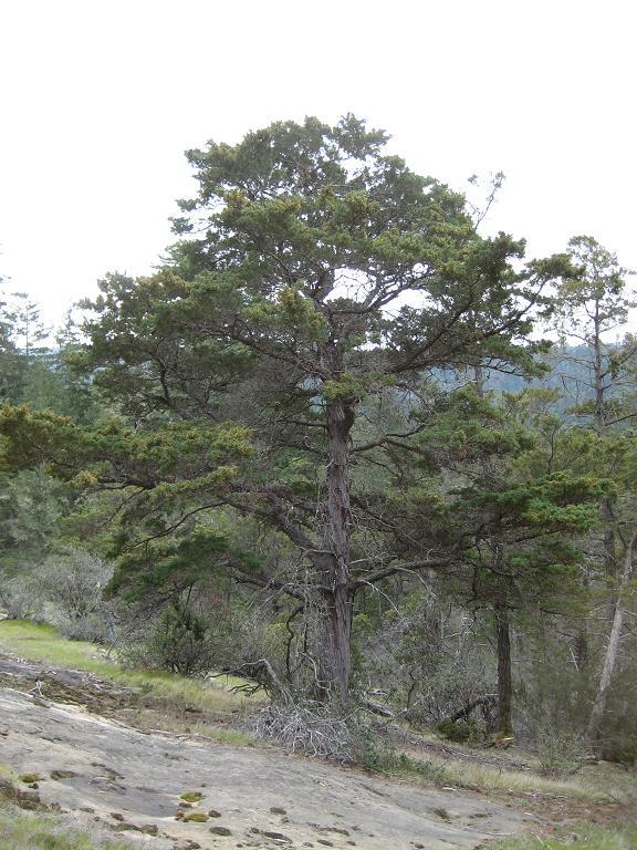 Hesperocyparis abramsiana