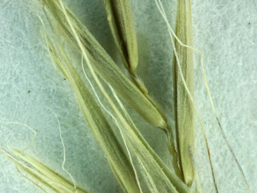 Festuca subuliflora