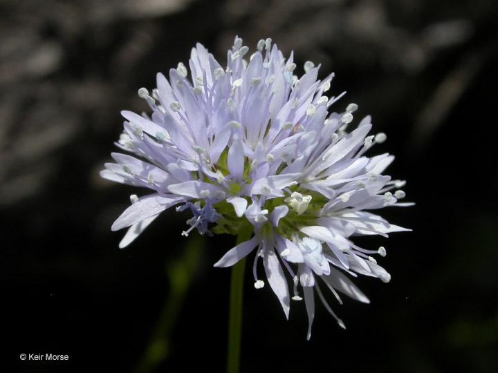 Gilia capitata ssp. capitata
