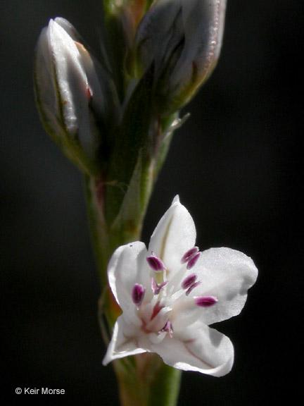 Polygonum douglasii ssp. majus