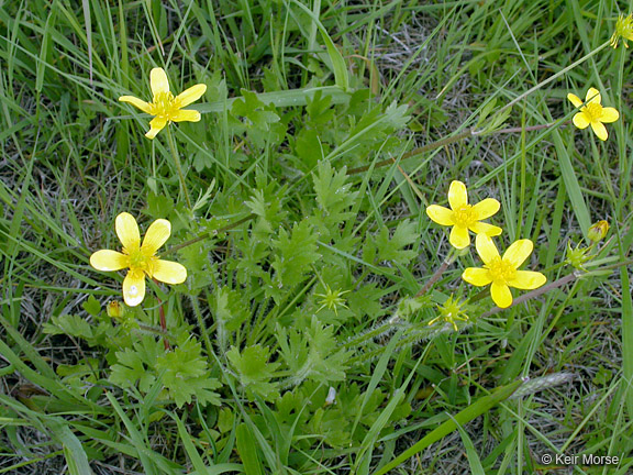 Ranunculus orthorhynchus var. orthorhynchus