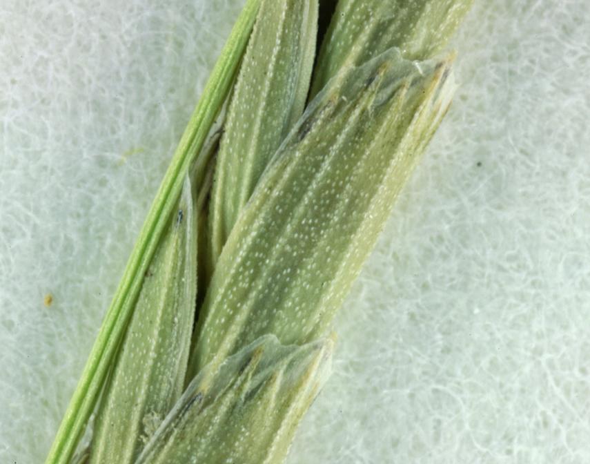 Glyceria occidentalis