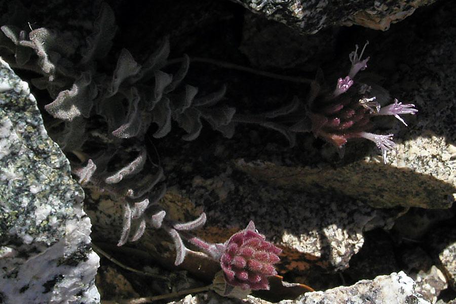 Monardella australis ssp. cinerea