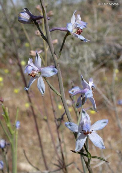 Delphinium parishii ssp. parishii