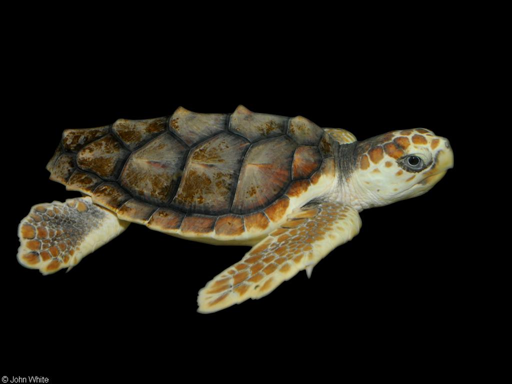 CalPhotos: Caretta caretta; Loggerhead Sea Turtle