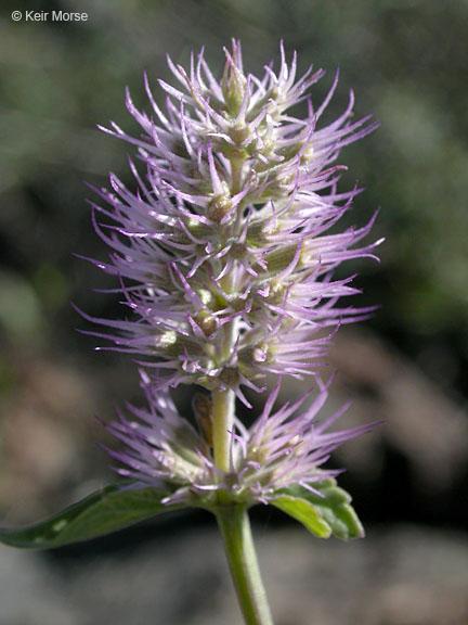 Agastache parvifolia