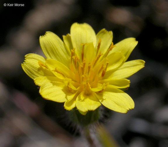 Agoseris heterophylla