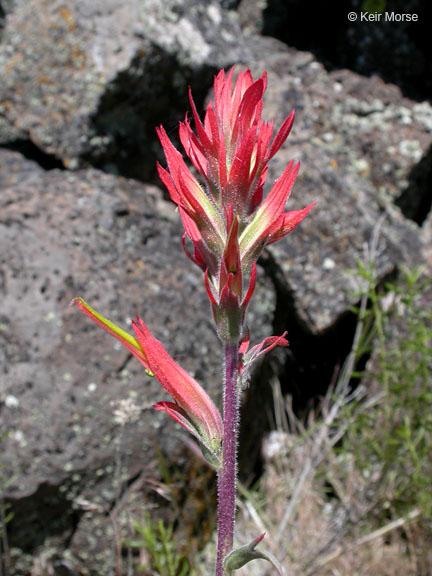 Castilleja linariifolia