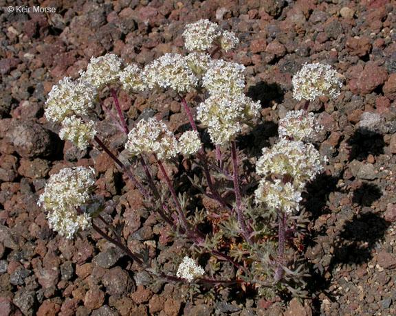 Ipomopsis congesta ssp. palmifrons