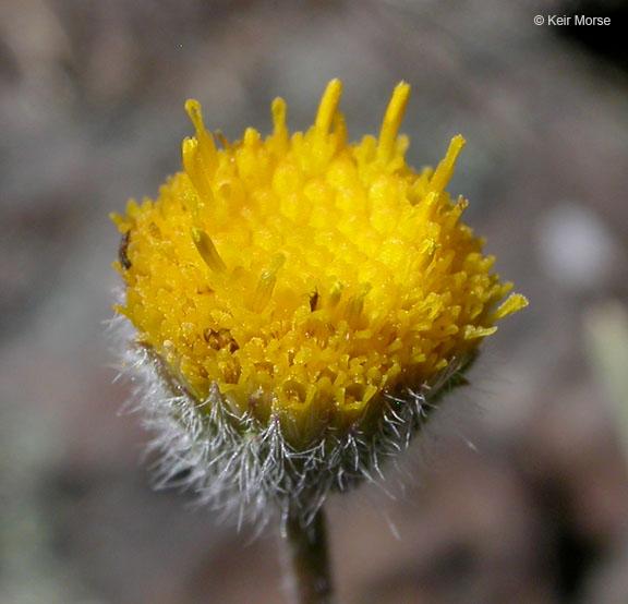 Erigeron chrysopsidis var. austiniae