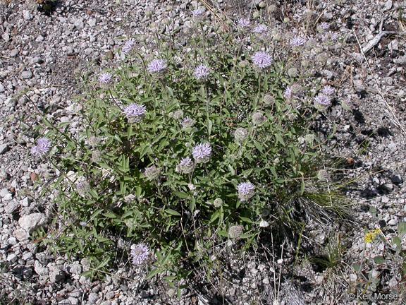 Monardella odoratissima ssp. odoratissima