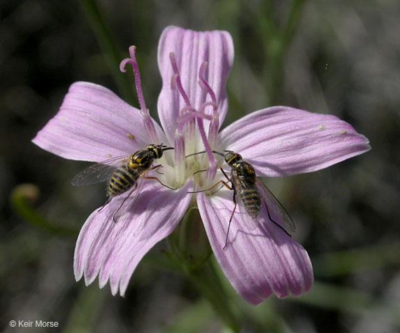 Stephanomeria tenuifolia