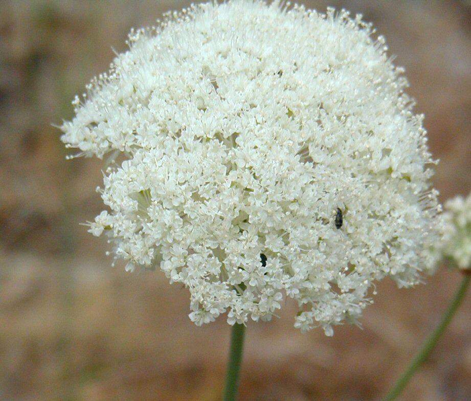 Perideridia bolanderi ssp. bolanderi