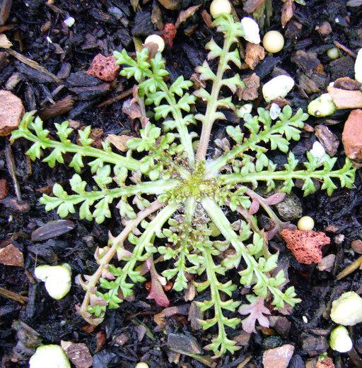 Gilia capitata ssp. chamissonis