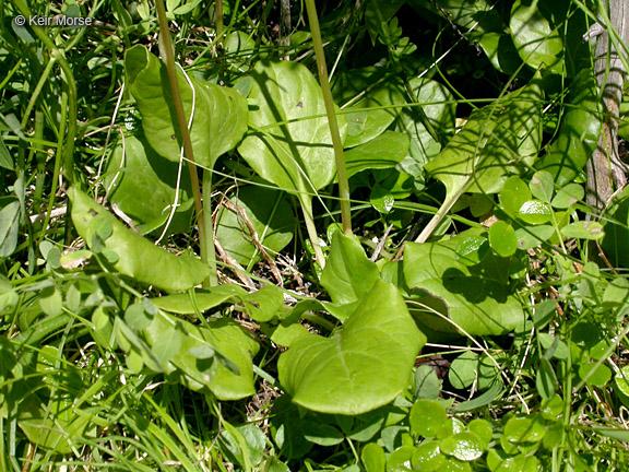 Pyrola asarifolia ssp. asarifolia