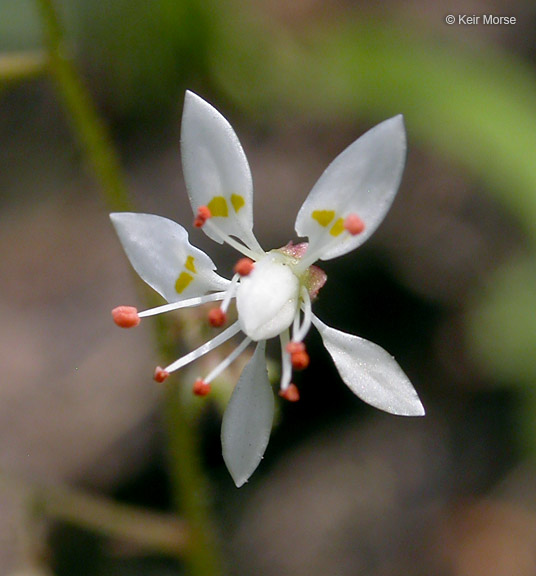 Micranthes ferruginea