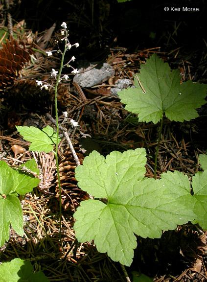 Tiarella trifoliata